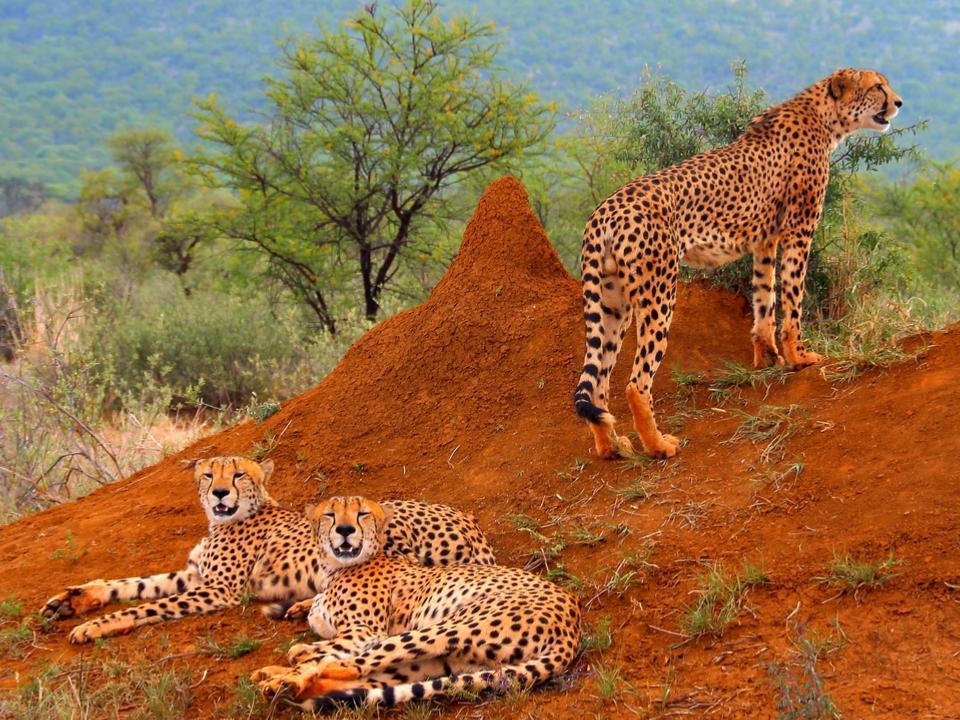 Three cheetahs hanging around