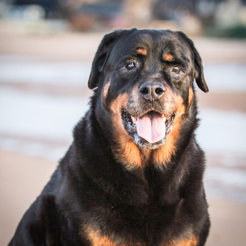 Big black and brown dog