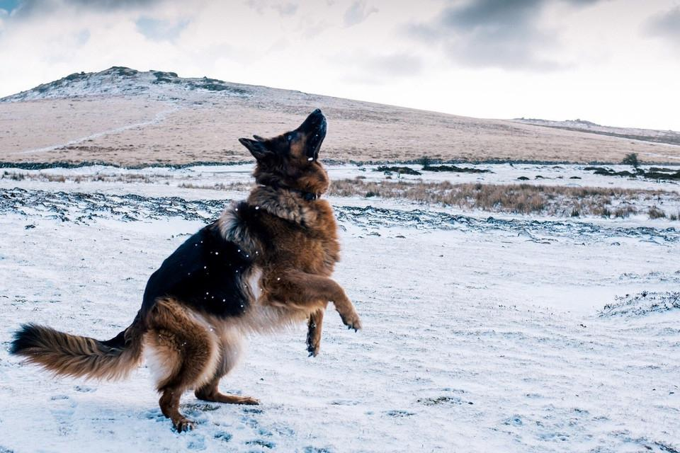 German shepherd dog in the snow