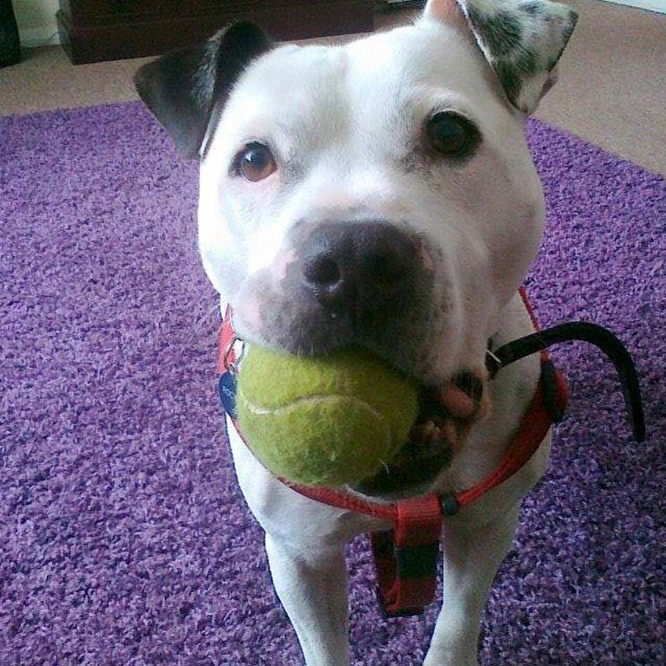 Dog with a tennis ball in his mouth