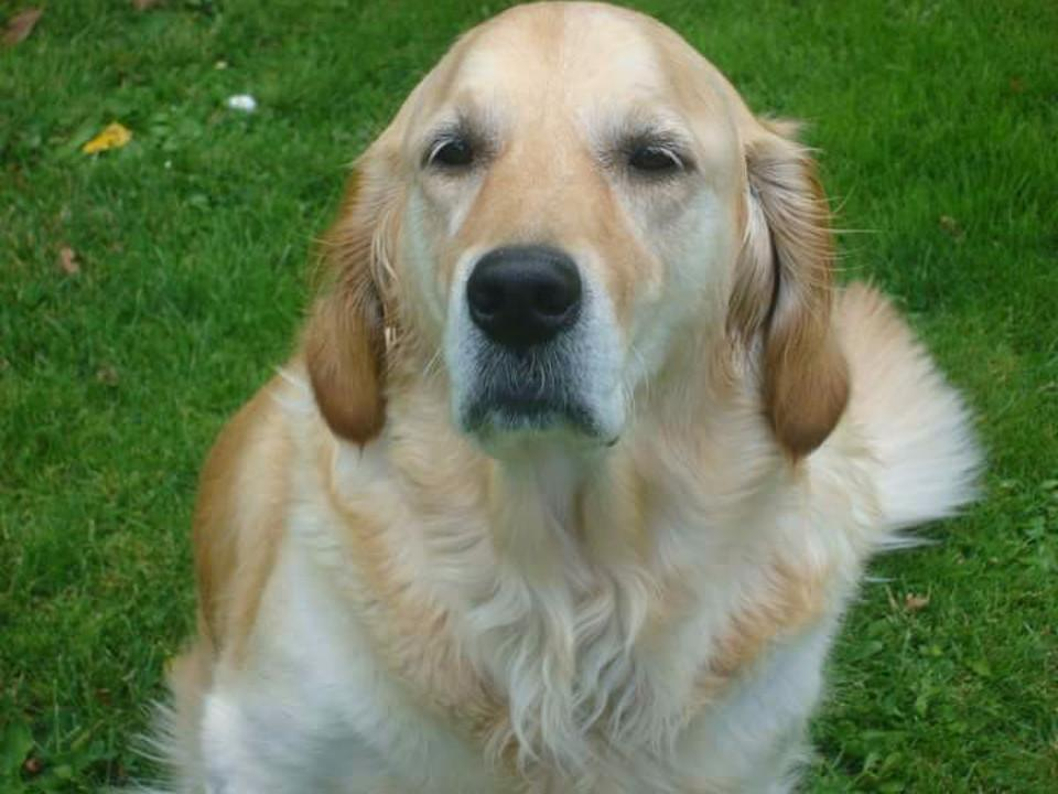 dogs, animals, golden retriever