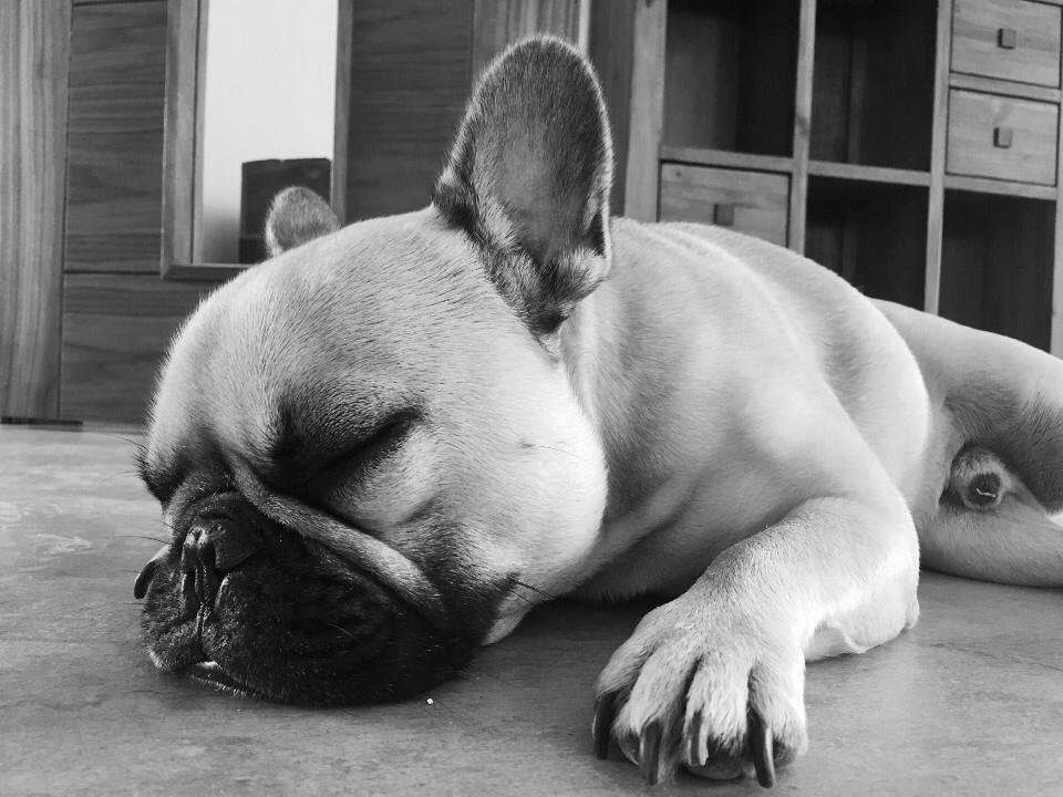 animals, dogs, pooch, french bulldog, sleeping