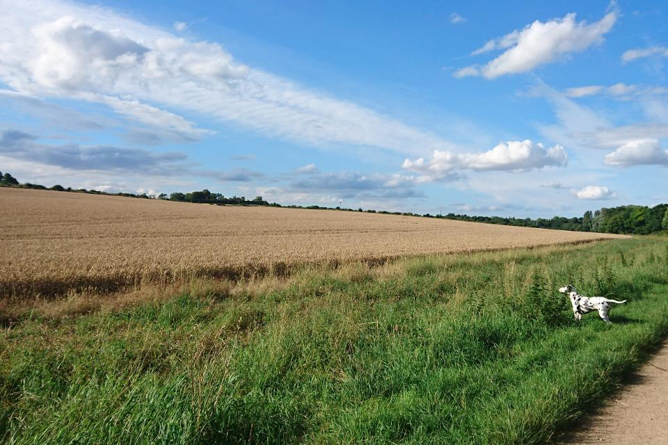 meadow, field, dog