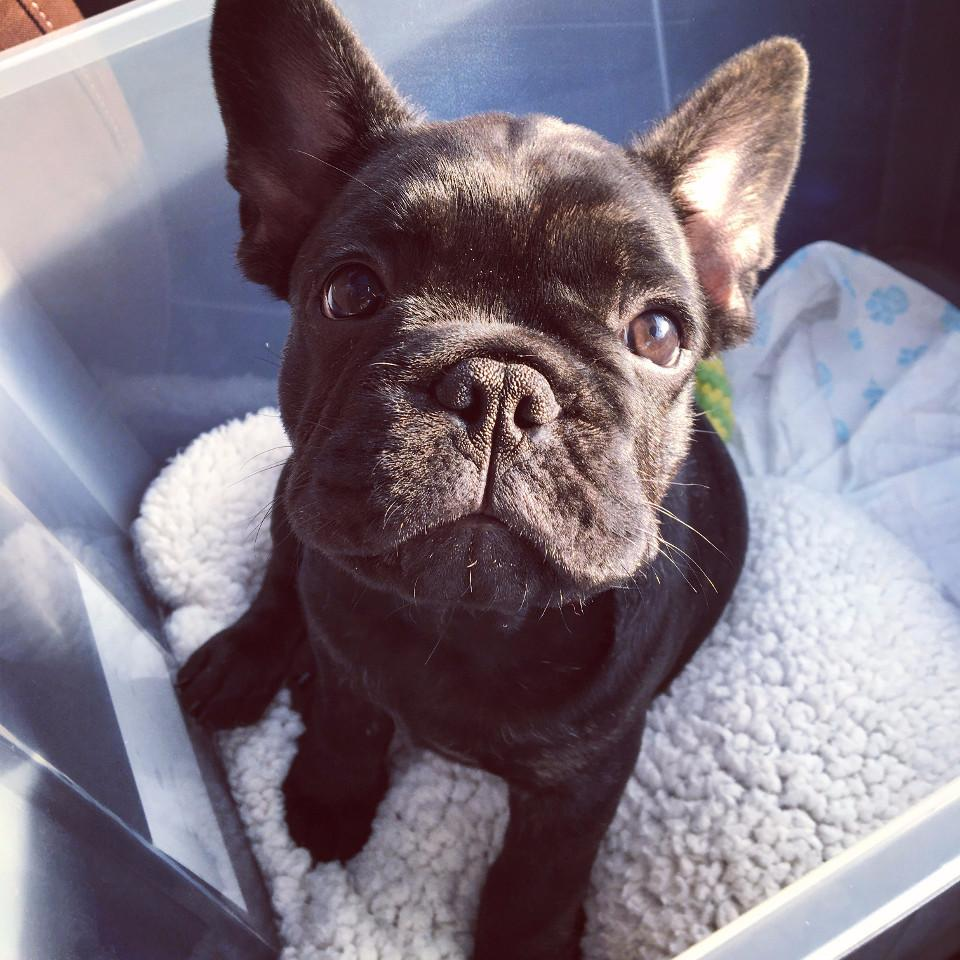 cute, dog, French bulldog