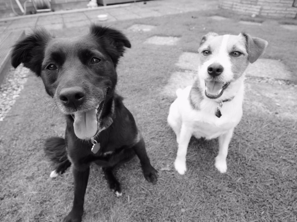 dogs, puppies, monochrome, b & w
