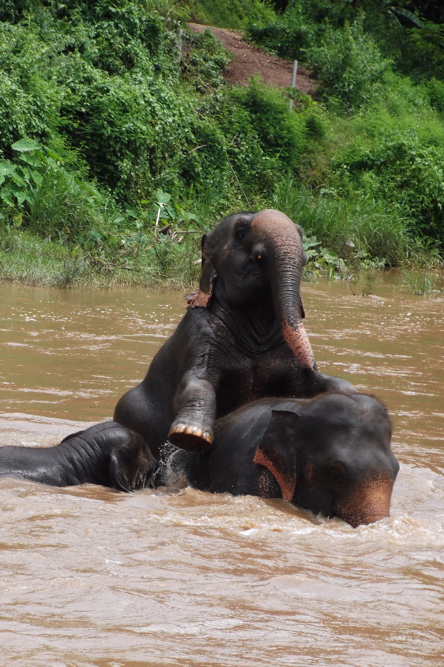 animals, elephants, elephants playing