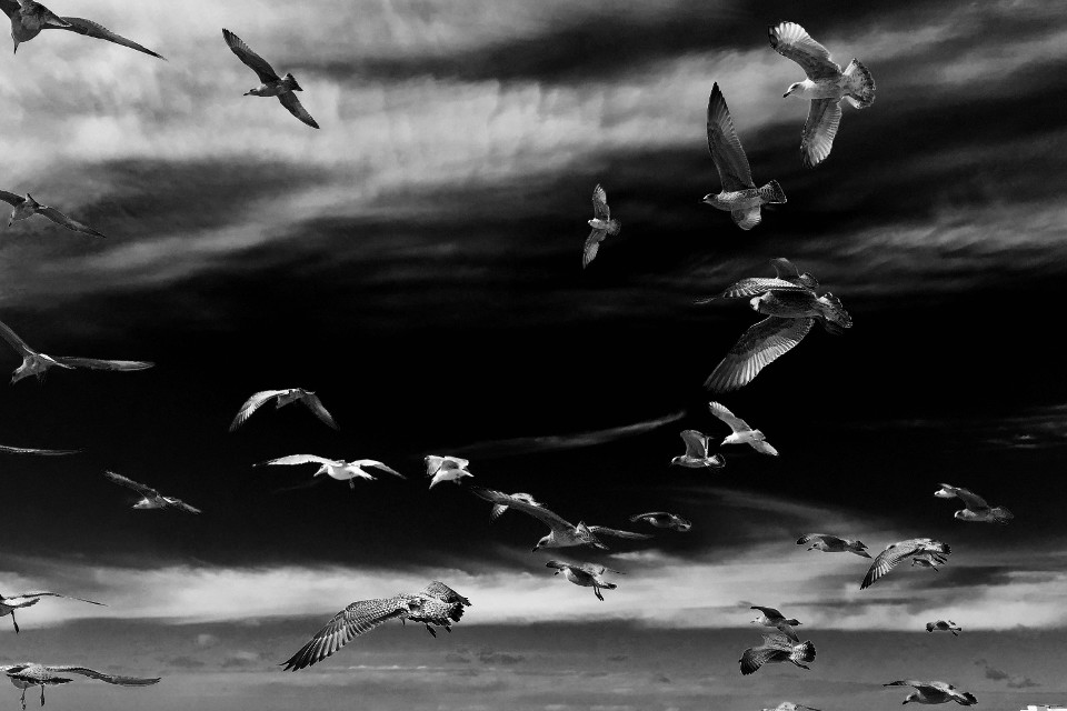 sea, monochrome, black and white, birds, seagulls, majestic