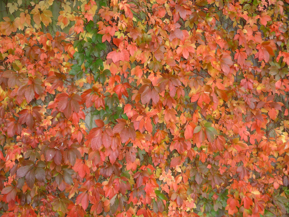 autumn, autumn leaves, texture, red leaves, autum foliage
