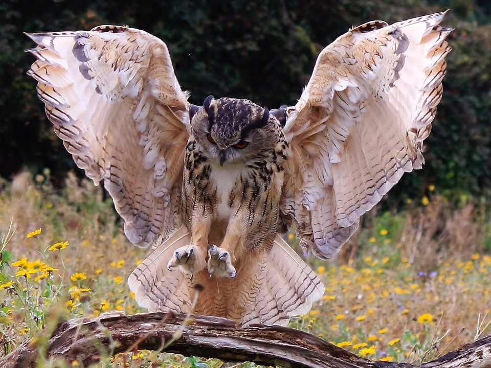 animals, birds, owls, majestic bird, owl in flight