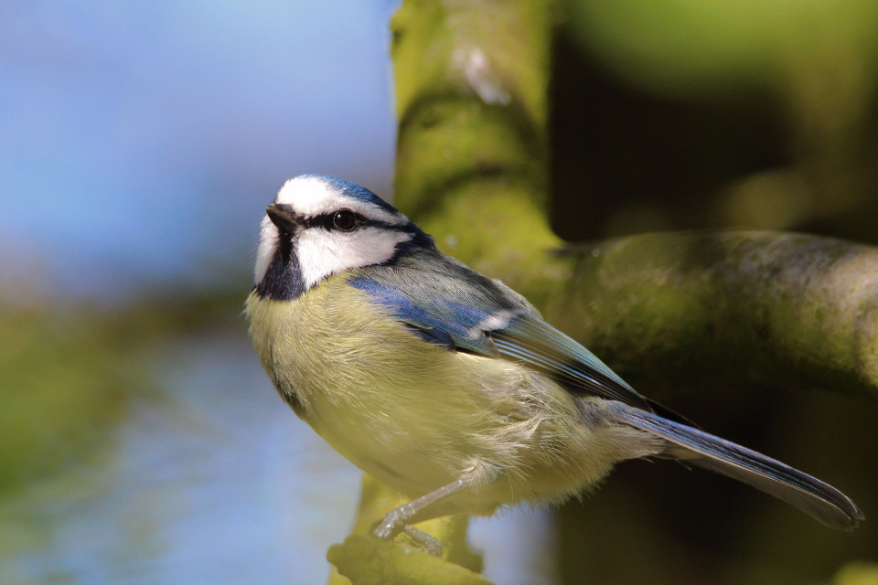 animals, birds, blue tit, spring, close-up, cute