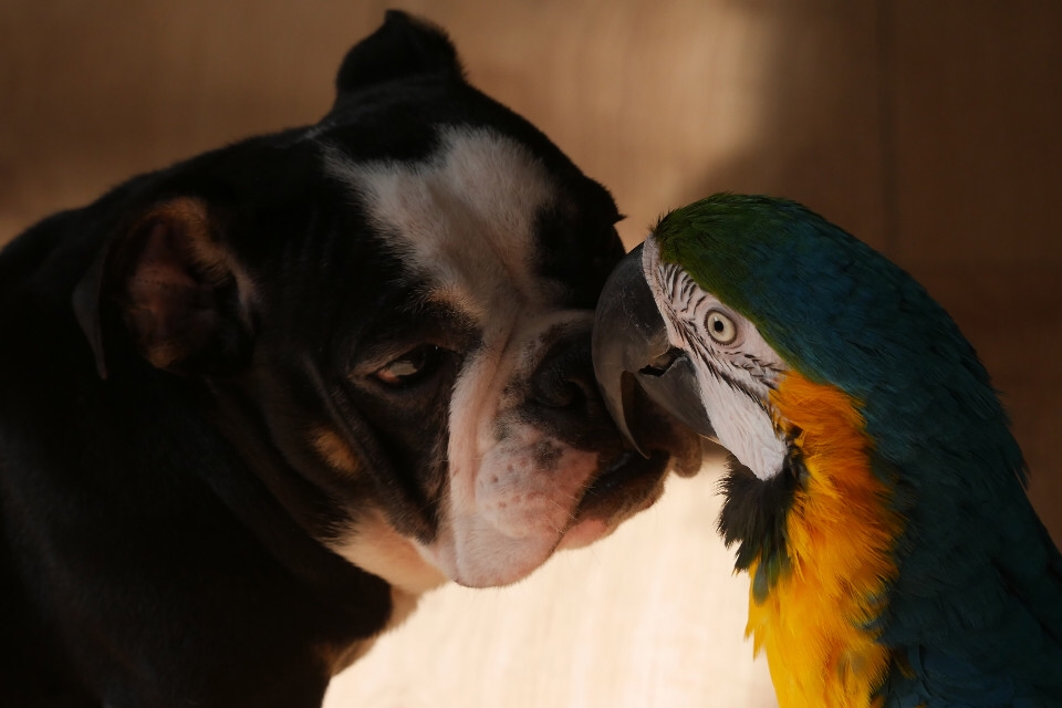 animals, dogs, birds, parrot, bulldog, couple, love, friendship, unlikely, funny