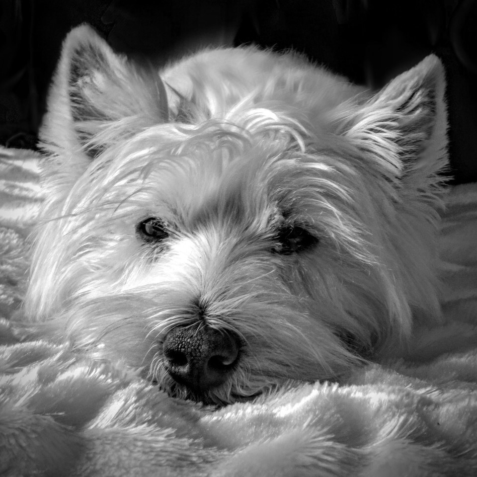 Animals, dogs, dog, portrait, monochrome, fluffy